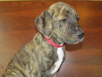 English Mastiff Pitbull Puppies For Sale In Houston Texas