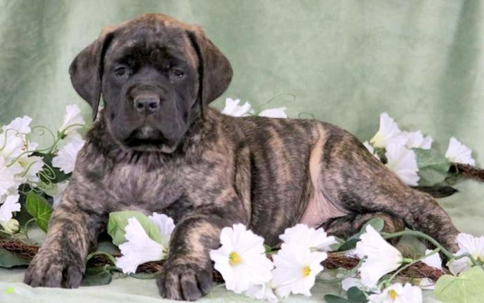 English Mastiff Puppies For Sale In Pennsylvania Classifieds Buy