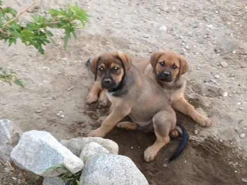 English Mastweiler puppies for Sale in Morongo Valley, California ...