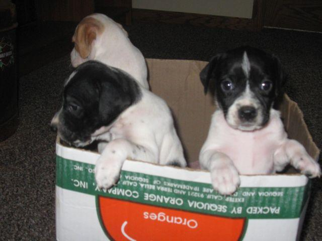 English Pointer Puppies For Sale In Burnett Wisconsin Classified