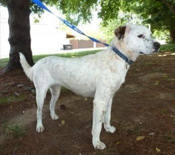 English Setter - Julianne - Medium - Adult - Female -