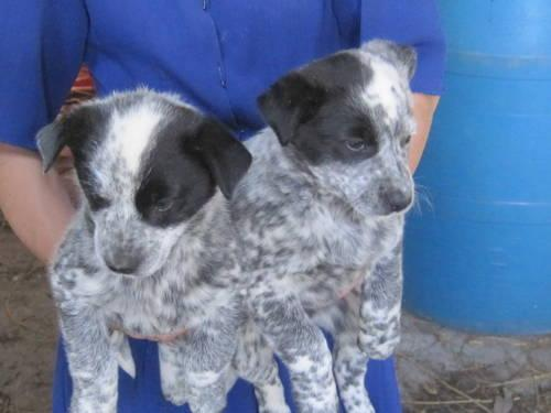 Blue Heelers For Sale : Blue heeler for sale in indiana classifieds & buy and sell in