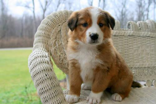 English Shepherd Puppies For Sale In Nashville Tennessee