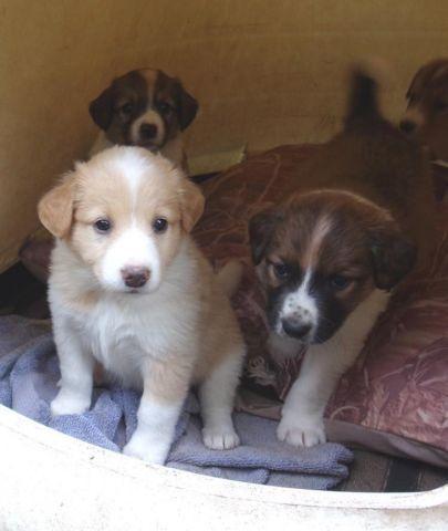 English Shepherd Puppies For Sale In Siloam Springs Arkansas