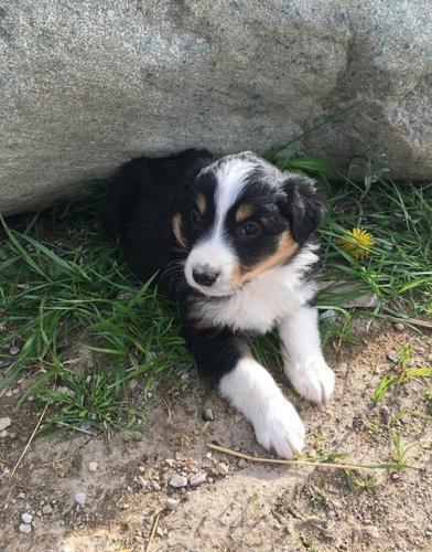 English Shepherd Puppy for Sale - Adoption, Rescue ...