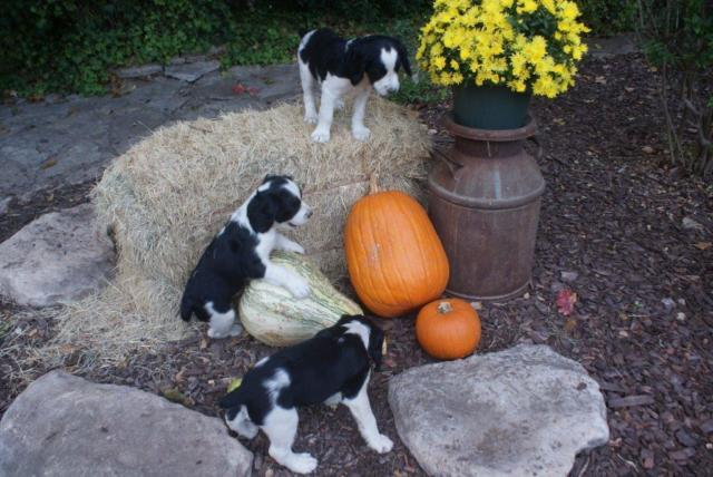 English Springer/Brittany Spaniel Pups (Wimberley) for Sale