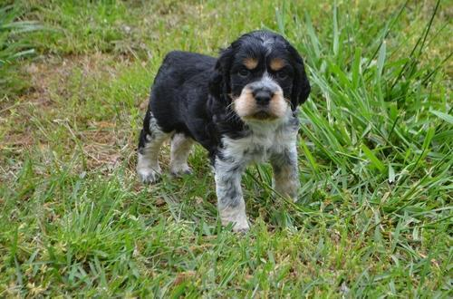 English Springer Spaniel Puppy for Sale - Adoption, Rescue for Sale