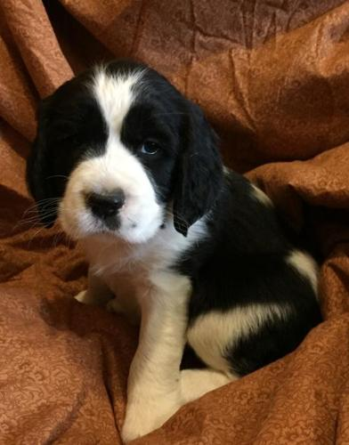 English Springer Spaniel Puppy for Sale - Adoption, Rescue