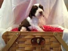 English Springer Spaniel Pups for Sale in Georgetown, South
