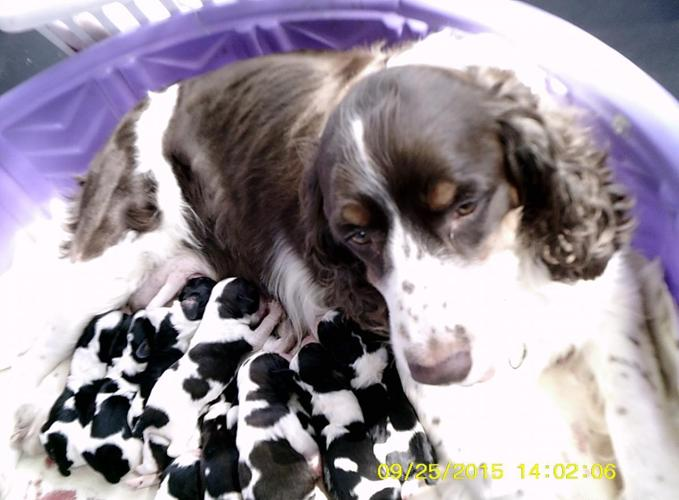 English Springer Spaniels w/papers