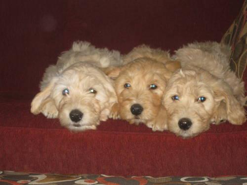 teddy bear puppies for sale in michigan english teddy bear goldendoodle puppies house training 4364