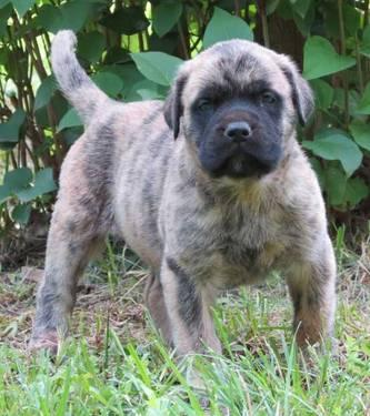 English Mastiff Puppies on English Mastiff Puppies  A Great Family Breed  For Sale In Port
