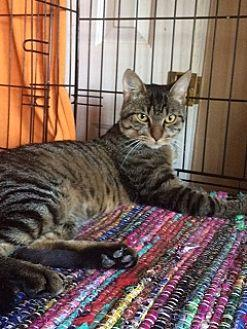 Ennis Domestic Shorthair Young Male