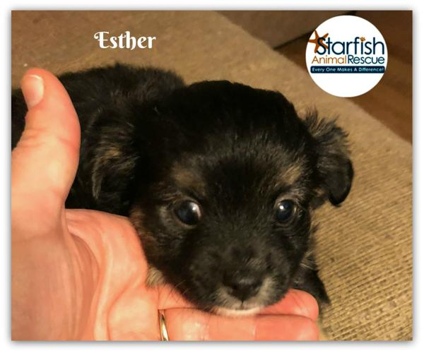 Esther Miniature Pinscher Baby - Adoption, Rescue