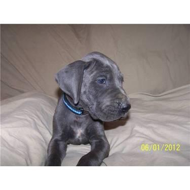 Euro Blue Male Puppy