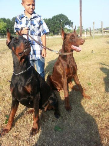 European Doberman Pup Male Red And Rust