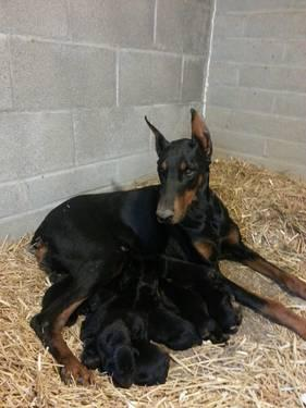 european doberman puppies for Sale in Phoenix, Arizona ...