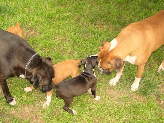 EUROPEAN LINE PUREBRED boxer puppies , BLACK, FAWN
