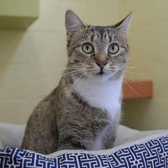 Eva Domestic Shorthair Adult Female