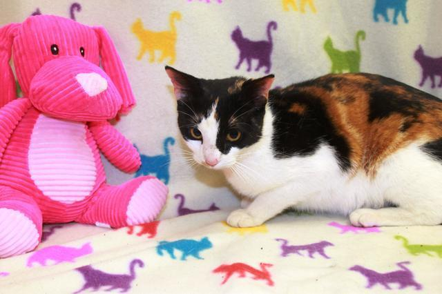 EVA @ Petsmart Domestic Short Hair Young - Adoption, Rescue