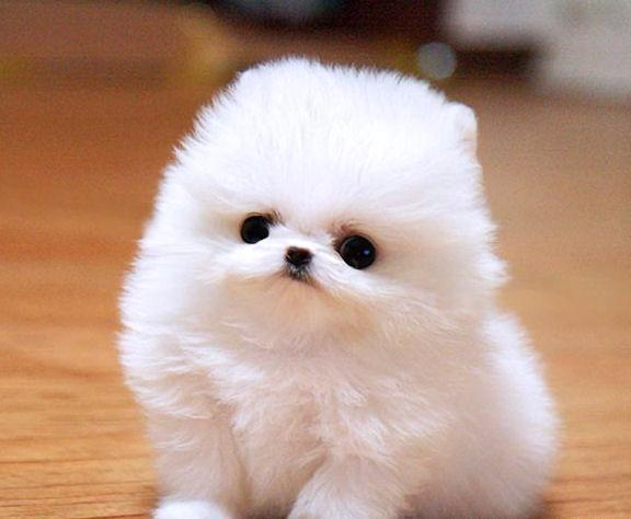 Ever Pure white Miniature Teacup Sized Pomeranian Puppies ... - photo#27