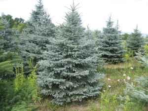 EVERGREEN LANDSCAPE TREES (Trumansburg, NY)