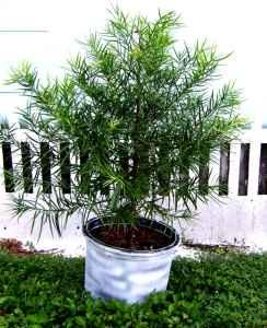 Evergreen Trees Bradenton Airport Area For Sale In