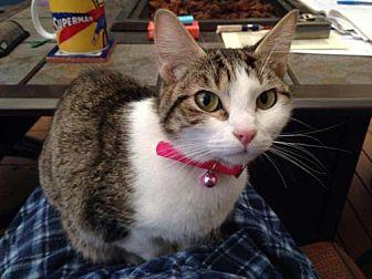 Evie Domestic Shorthair Young Female