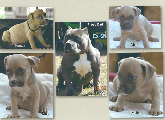 Excaliber Pitbull Pups