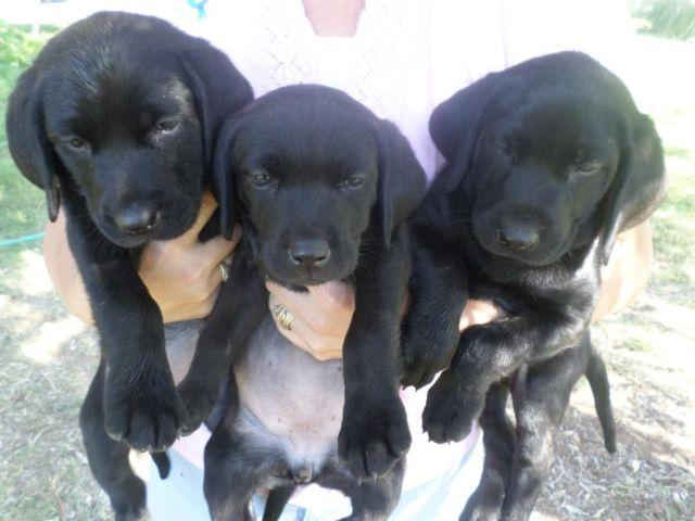 Hunting Labs Hunting Labs Labrador For