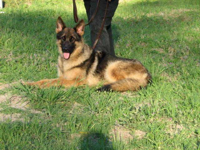 Excellent Family Shepherd For Sale