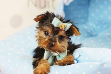Excellent Teacup Yorkie Ready For Adoption For Sale In Atlanta