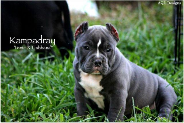 Exotic American Bully pups for Sale in Pemberton, New Jersey