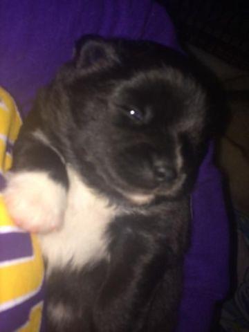 Exotic Black Pomsky Puppy
