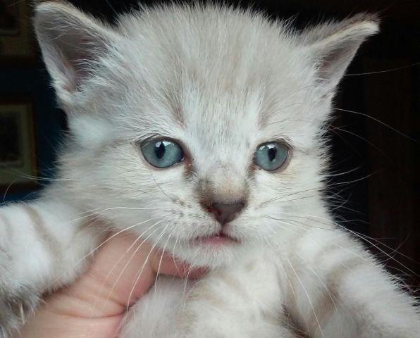 Exotic Bob-Tail Snow Desert Lynx / Ragdoll Kitten (Bright Blue Eyes)