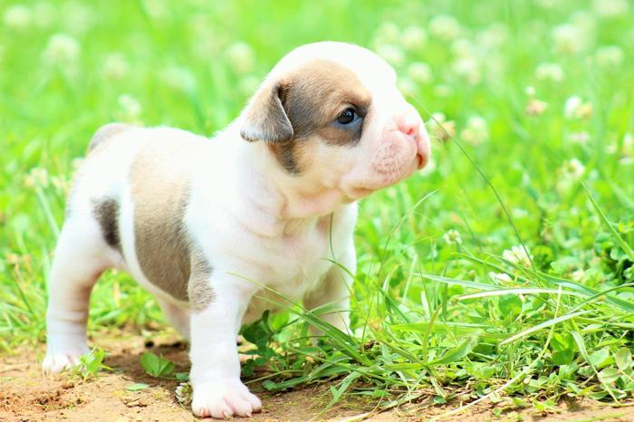 Exotic Bully