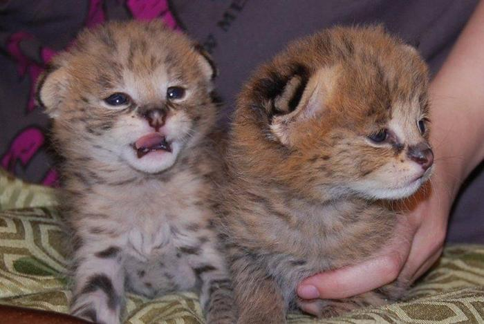 Exotic cats Serval, Savannah,  kittens for sale