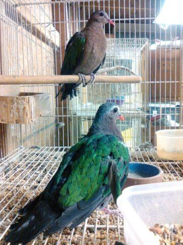 Doves For Sale >> Diamond Doves For Sale In California Classifieds Buy And Sell In
