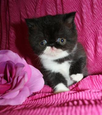 Persian kittens for sale in minneapolis mn