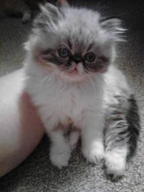 Exotic Persian Kittens for sale!!! Located near Montrose, CO