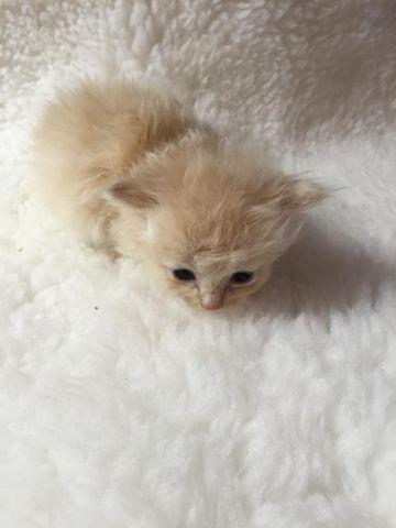 Exotic Ragdoll Kittens for Sale