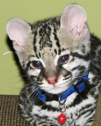 exotic serval, caracal and Ocelot kittens for sale for Sale in ...