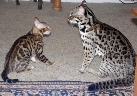 Exotic Pets Big Cats For Sale In Pennsylvania