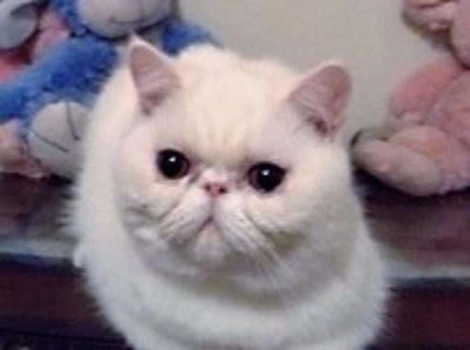 Exotic Short Hair Female Kitten for Sale in Miami Beach