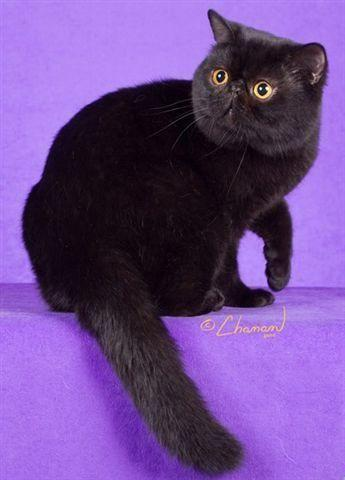 HAIR Persian kittens Breeder in New Hampshire for Sale in Croydon, New ...