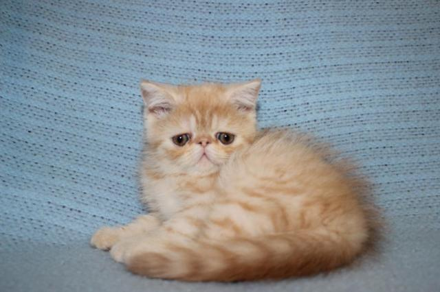 EXOTIC shorthair girl /Persian kittens AVAILABLE CFA regist