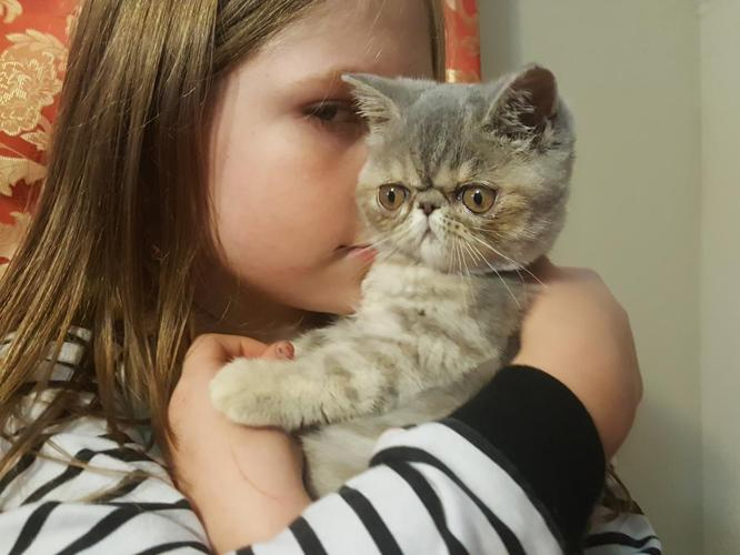 Exotic Shorthair Kittens!! for Sale in Winchester, Ohio ...