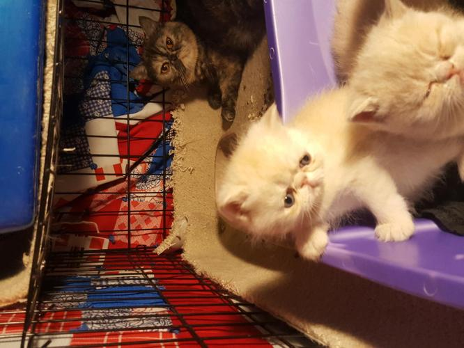 Exotic Shorthair Kittens for Sale in Winchester, Ohio ...