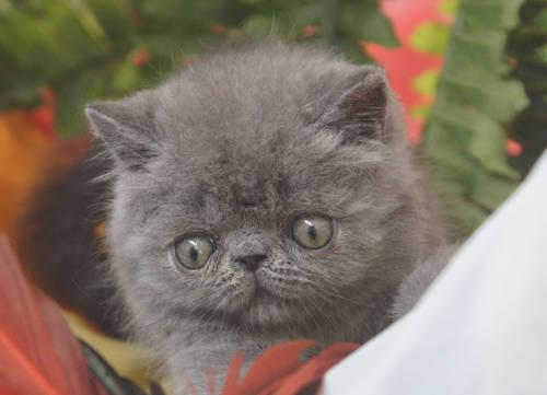 free exotic shorthair kittens for sale in florida