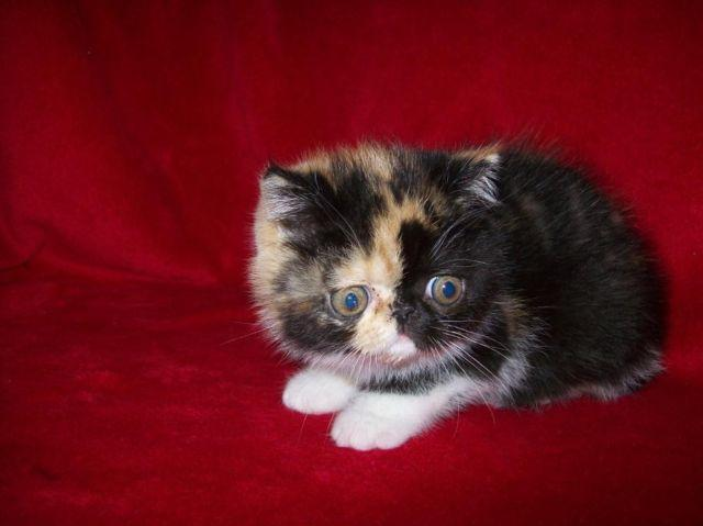 Exotic Shorthair Persian Kittens